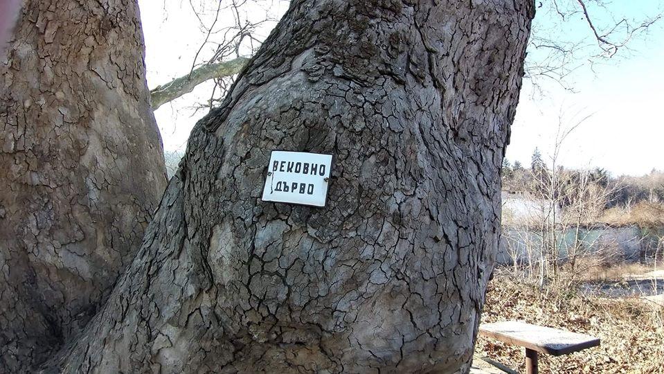 Lidl: Вековният чинар във Варна се намира извън имота ни, по никакъв начин няма да бъде засегнат