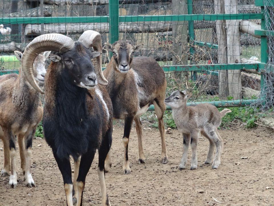 Две бебета муфлончета се родиха в Зоопарка
