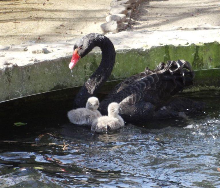 Черни лебеди се излюпиха във Варненския зоопарк