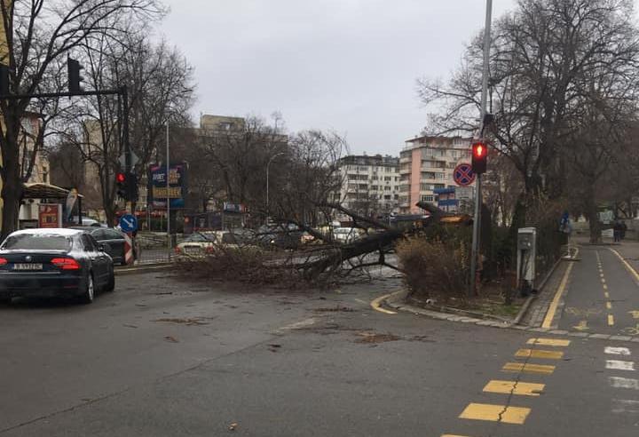 Дърво падна на  бул. Владислав Варненчик