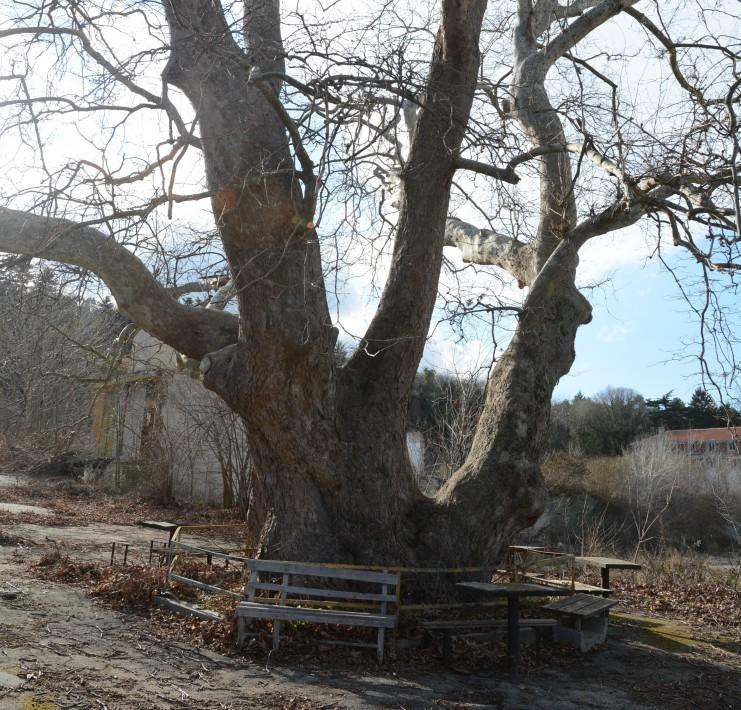 10 вековни дървета се намират на територията на Варна