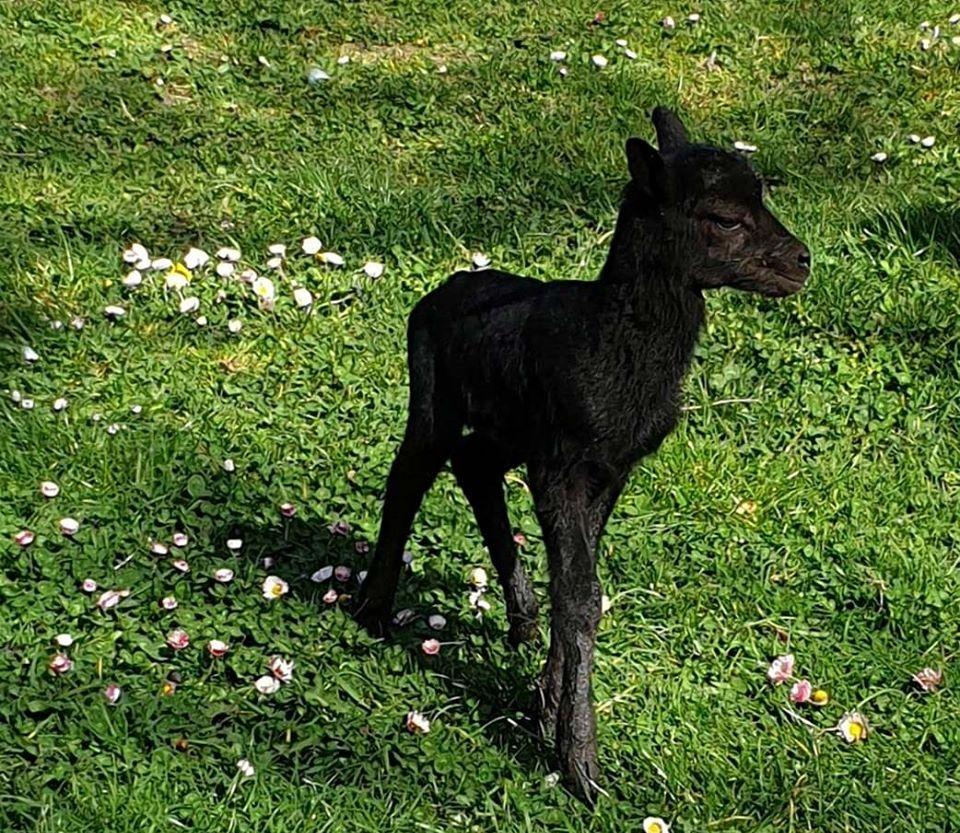 В Зоопарк – Варна се роди малко черно муфлонче