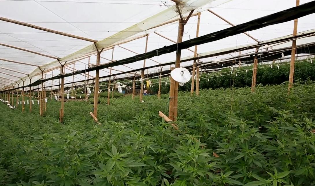 Скопие привлича туристи с легална марихуана
