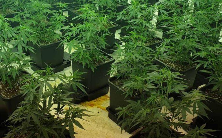Присъда за 37-годишен мъж, отглеждал и разпространявал марихуана