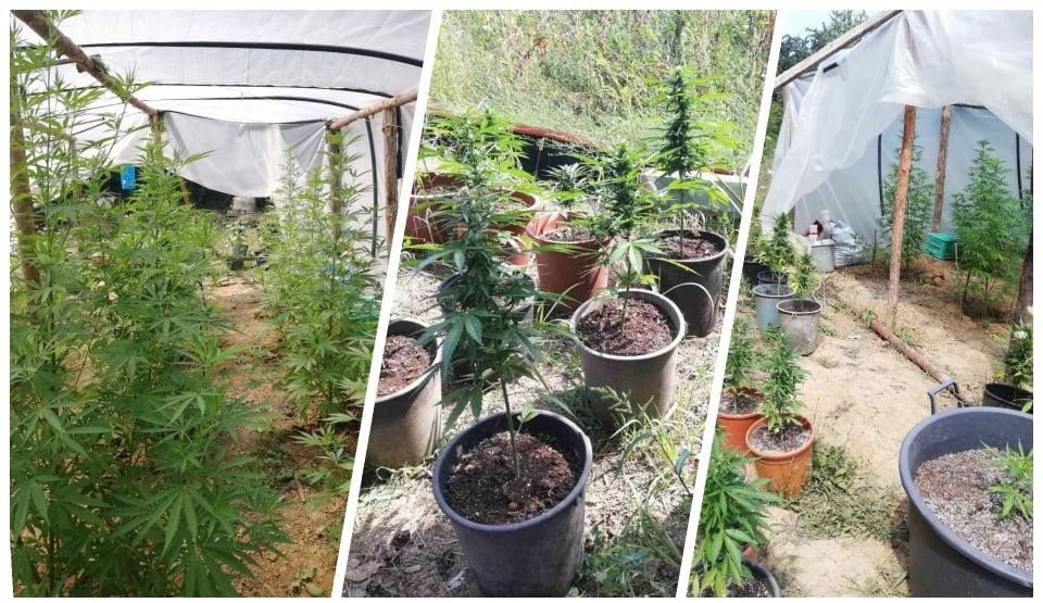 Криминалисти разкриха оранжерия за марихуана във ферма за охлюви