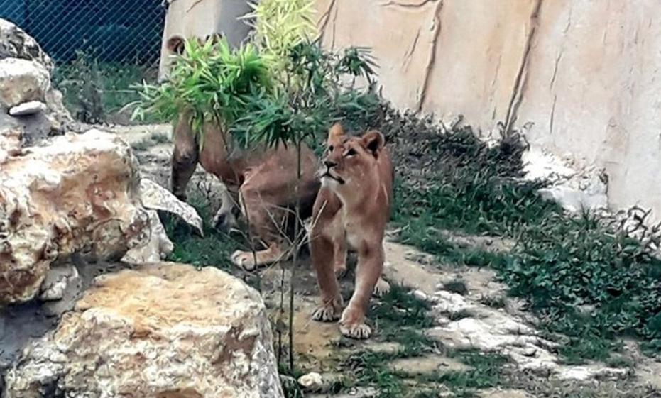 Лъвчетата вече имат ново местообитание в зоопарка